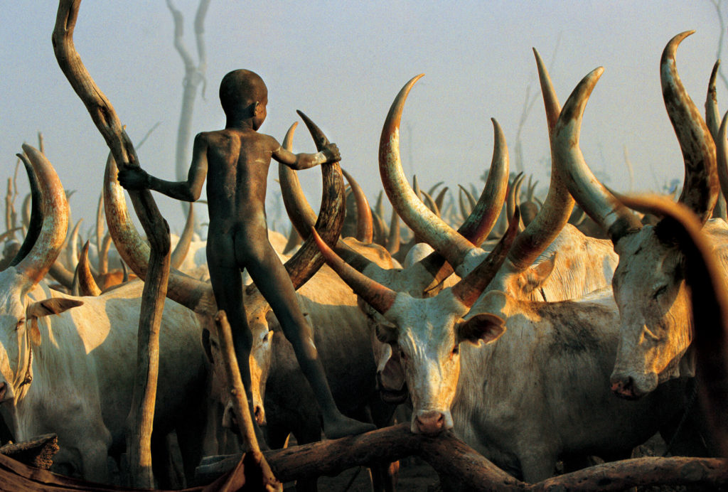 Fearless Among the Cattle